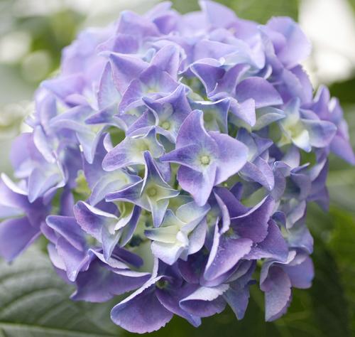 秋色紫陽花2.jpg